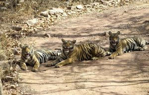 One day mission: Ranthambore Tiger Safari – single day excursion