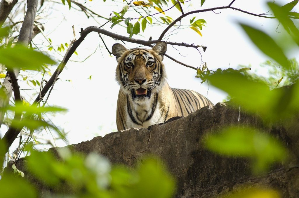 Ranthambore one day tiger safari